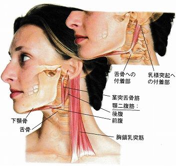 顎二腹筋と茎突舌骨筋 写真.jpg